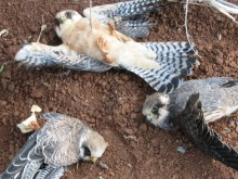 First ever pan-Mediterranean study reveals scale of wild birds massacre